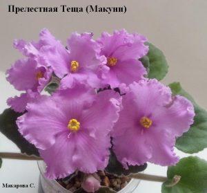 Фиалка Прелестная Теща -2 малиновая ретро Макуни