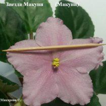 Фиалка Звезда Макуни розовая ретро
