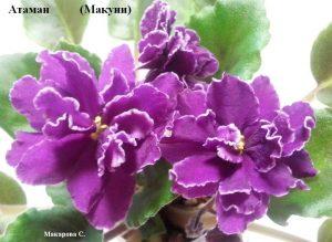 Фиалка Атаман Макуни ретро махровая вишневая