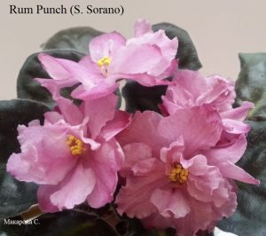 Sorano ретро махровая розовая фиалка